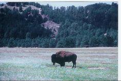 Bull Bison in the North Dakota Badlands White Settlers, Lewis And Clark, Heart Beat, North Dakota, Bison, White Light, Buffalo, Bones, Surface