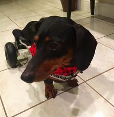 Meet the 50th paralyzed dog the Frankie Wheelchair Fund has helped with a dog wheelchair!  Woo hoo!