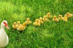 love ducklings.