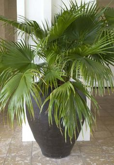 Bringing Tropical Breezes to Moderate Climates - If you've dreamed of palm trees swaying in the breeze, but stopped short of planting one because of cold winters, look no further. The hardy European Fan Palm, with its showy leaves, can resist the cold all the way down to 10 degrees F, and it's even resistant to drought. That's why this palm has...