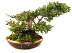 Juniperus Bonsai Antik Sütunlu 15,90 TL http://www.fideland.com.tr/juniperus-bonsai-antik-sutunlu