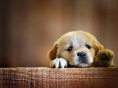 Golden Retriever puppies x 479 px] - Animals/Dogs - Pictures and wallpapers Cute Baby Dogs, Cute Little Puppies, Baby Puppies, Cute Baby Animals, Dogs And Puppies, Animals Dog, Yorkie Puppies, Cutest Babies, Cutest Puppy