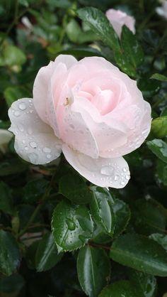 Dewdrops on Aspirin Rose https://www.flickr.com/photos/kamalakala/9920734676/in/album-72157634662948995/