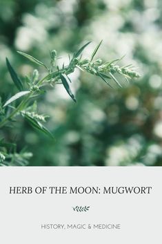Mugwort is an amazing herb for stress, period problems and focus. Go into the deeper magic and medicine of this plant