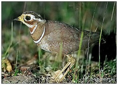 Jerdon's Courser, India,endangered