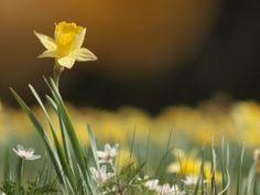 sunshine-y thoughts and daffodil-y beginnings   essence7 wellness, LLC