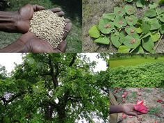 Medicinal Rice Formulations for Diabetes Complications and Heart Diseases (TH Group-58) from Pankaj Oudhia's Medicinal Plant Database