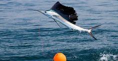 O mais rápido na água é o peixe-espada. Suas largadas são explosivas e batem a casa dos 110 quilômetros por hora.