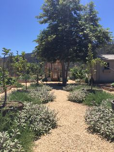 Variegated sage and rosemary line the gravel pathway to my greenhouse #patinafarm #giannettihome