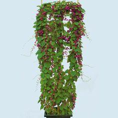 Purpurglöckchen Purple Bells (Rhodochiton atrosanguineum) - Kletterpflanzen von Gärtner Pötschke