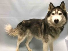 FIDEL - A1097967 - - Brooklyn  Please Share:TO BE DESTROYED 12/01/16 **NEEDS A NEW HOPE RESCUE TO PULL** -  Click for info & Current Status: http://nycdogs.urgentpodr.org/fidel-a1097967/