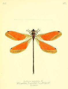 "Euthore mirabilis. Dragonflie from ""Aid to the identification of insects"" by Charles Owen Waterhouse, V. 1, 1880-90. London. Via Biodiversity Heritage Library."