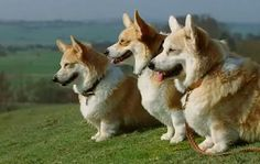 The Famous King's Speech Corgis