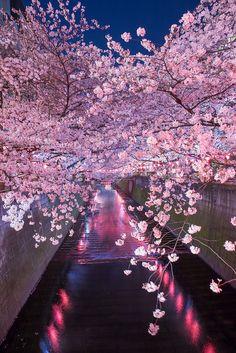 Meguro River & the cherry blossom. This river flows thru Setagaya, Meguro & Shinagawa wards, Tokyo, Japan. 東京都世田谷区、目黒区、品川区を流れる目黒川と桜。