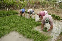 Els arrossaires arrenquen les plantes d'arròs i les van lligant en garbes. Amb una mà s'agafa la garba i amb l'altra s'arrenca. Plantar, Sports, Sport
