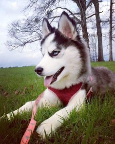 """1,230 Likes, 10 Comments - Husky Love Instagram (@huskylove.ins) on Instagram: """"Very adorable !! ➖  Picture by @salem_thesiberianhusky ➖  For all HUSKY lovers check link in our…"""""""