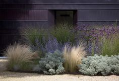 silvery Artemesia 'Ponis Castle', perennial grass Stipa tenuissima, and purple spikes of Russian sage.