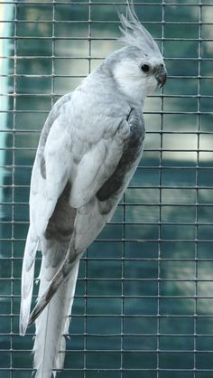 Dominant Silver White-Face Cockatiel