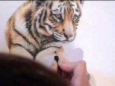 Tiger Cub Colour Pencil Drawing WIP