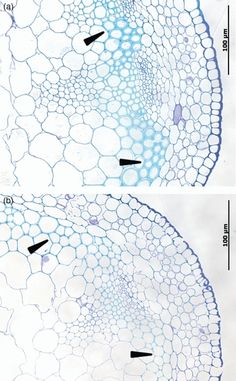 Constitutive expression of a fungal glucuronoyl esterase in Arabidopsis reveals altered cell wall composition and structure Cell Wall, Biotechnology, Alters, Composition, Plant, Kids Rugs, Journal, Kid Friendly Rugs, Writing