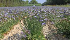 French Larkspur: Provence By Car