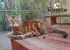 Filhotes de gato persa, Filhotes de Exotic Shorthair, Filhotes de Bengal…