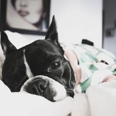Sleep is the best meditation  #dogsofinstaworld  #LOVEABULLY #frenchies1 #frenchieoverload #bullyinstafeature #jj_indetail #jj_welovepets #sunnypicchallenge #nothingisordinary #bestwoof #houndsbazaar #lovedf #mexigers #a_dogsworld  #animalbuzz #dogsofinstagram #lacyandpaws #rainbow_wall  #ruffpost #french_bulldogs #excellent_dogs #meowvswoof #frenchielove_feature #mydogiscutest #cutepetclub #INSTAFRENCHIE #frenchiegram #topdogphoto by tomasa_the_french_bulldog