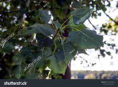 Closeup Green Leaves tartalmú stockfotó (szerkesztés most) 1497392099 Green Leaves, Plant Leaves, Close Up, Plants, Photography, Image, Photograph, Fotografie, Photoshoot