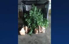 Man runs from police, leads to $30K marijuana bust - WSMV Channel 4