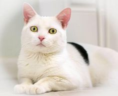 Timon is a male DSH available at Liberty Humane Society, Jersey City,NJ.