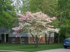 """Flowering Dogwood (cornus florida) is a small, flowering tree noted for its spectacular show of blooms in spring. Green foliage turns scarlet in fall.  Missouri State Tree.  Each flower cluster is surrounded by 4 showy, white petal-like bracts which open flat, giving the appearance of a single, large 3-4"""" diameter, four-petaled flower."""