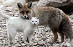 Don't  foxes eat cats? I guess this one doesn't! Yay!