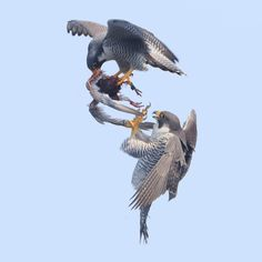 Fighting over dinner Raptors, Wildlife Photography, Animal Photography, Tree Rat, Blue Dream Catcher, Peregrine Falcon, Australian Birds, Bird Wings, Bird Pictures