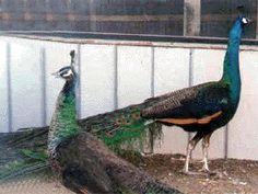 Pair of mature Emerald Spaldings
