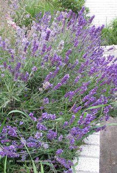 Lavandula angustifolia = lavendel, bloei in juli – aug. Zachtblauw, geurend. Houd van zon en kalkhoudende grond.