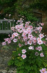 Gardening Autumn - Nice groundcover foliage in summer, gorgeous flowers in autumn pink japanese anemone - With the arrival of rains and falling temperatures autumn is a perfect opportunity to make new plantations Pink Garden, Shade Garden, Dream Garden, Tropical Garden, Back Gardens, Outdoor Gardens, Castle Gardens, Beautiful Gardens, Beautiful Flowers