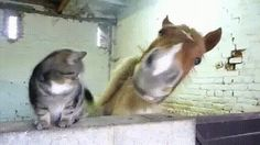 Cat: I like you a lot. Let me rub my face on your nostril. Horse: (snuffles because cat hair in nose)