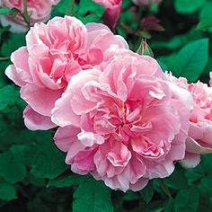 Cottage Rose  3 1/2 ft  If you are looking for a really good garden rose of truly Old Rose character, that will flower continually throughout the summer, it would be hard to beat this one. It produces charming, medium sized, rather cupped, double blooms in a lovely warm pink. No sooner has one crop appeared, than numerous little branches are to be found all over the plant. These soon provide the next burst of flower.