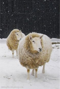 Sheep on a cold winter's day