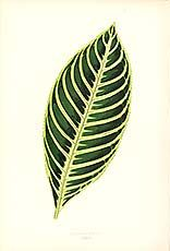Antique print of beautiful leaf by Hibberd
