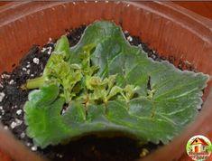 Saintpaulia, Miniature Plants, Plantar, Begonia, Houseplants, Agriculture, Container Gardening, Indoor Plants, Garden Landscaping