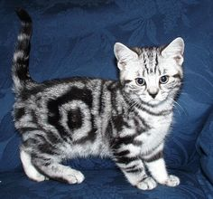 breeder of British shorthair black silver tabby and spotted kittens cats British Shorthair, Cats And Kittens, Black Silver, Kitty, Animals, Little Kitty, Animales, Animaux, Kitten