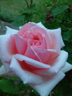 Hybrid Tea Climbing Rose: Rosa 'Madame Abel Chatenay, Cl' (France, before 1894)