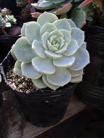 PLANTAS MORENAL: CRASAS Cactus, Planting Succulents, Flowers, Planters, Garden, Scent Garden, Bonsai, Plants, Echeveria
