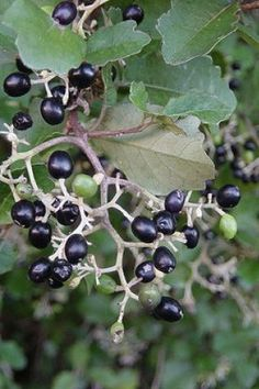 Kaikomako fruit (Pennantia corymbosa)- a favourite of the NZ bellbird Native Plants, Flora, Fruit, Wood, Summer, Summer Time, Woodwind Instrument, Timber Wood, Plants