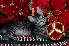 Day 7 of the Cat Christmas Advent Calendar | Pictures of Cats - Band of Cats