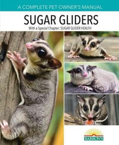 These popular, adorable marsupials come from the same general family as koalas and kangaroos, and are native to Australia and New Guinea. When trained properly, Sugar Gliders are considered just as wo