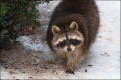 Love raccoons!