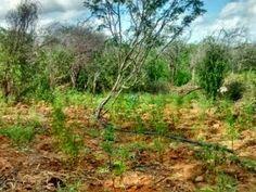 Blog Paulo Benjeri Notícias: Plantação com mais de 4 mil pés de maconha é errad...