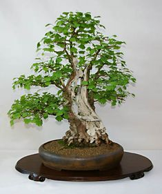 Bonsai Sabamiki split/hollow trunk & scar. Ginkgo biloba, Bonsai, from google search. interesting use of deadwood.